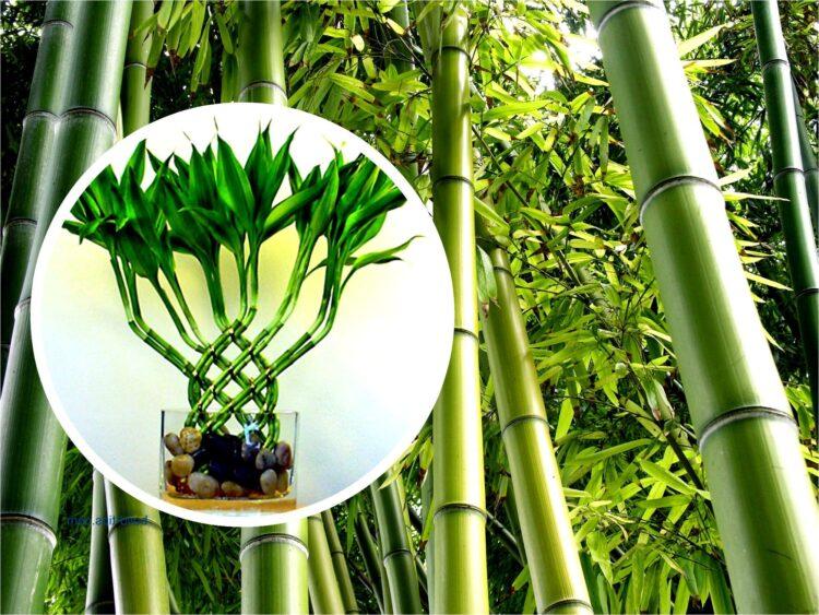 bambu çiçeği