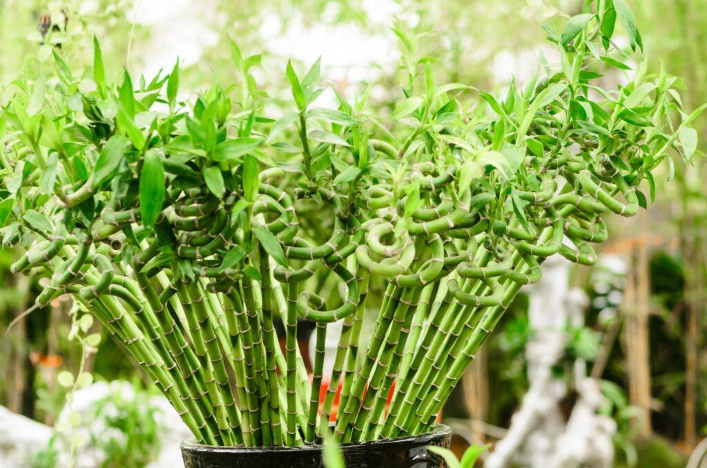 bambu çiçek bakımı