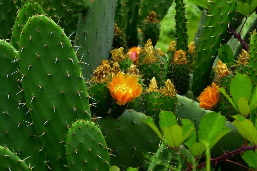 kaktüs çiçeği nasıl bakılır