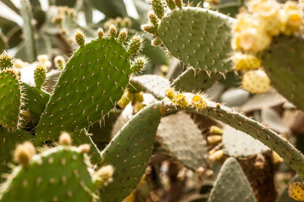 doğal kaktüs çiçeği