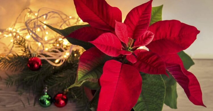 geniş yapraklı kırmızı yıl başı çiçeği