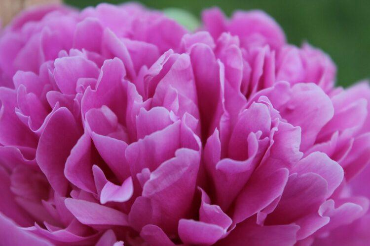 şakayık çiçeği bakımı