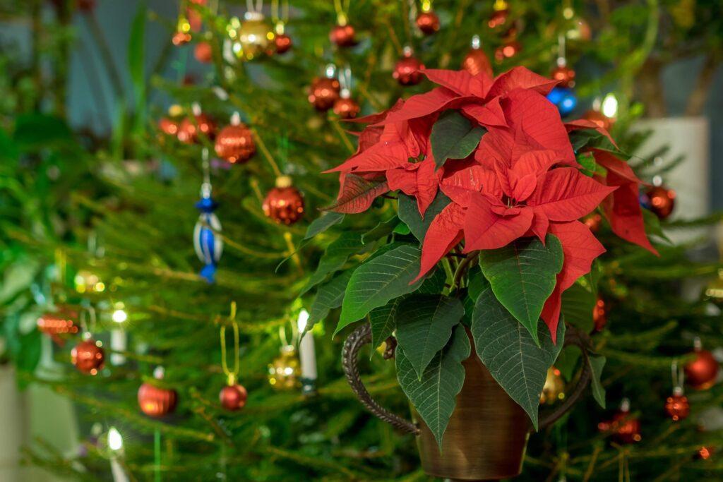 yılbaşı ağacı yanında kırmızı yılbaşı çiçeği