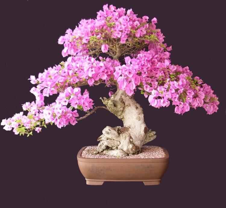 bonsai ağacı nasıl bakılır