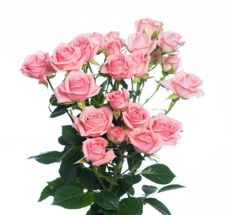 solmayan güller hakkında
